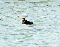Female black scoter preening