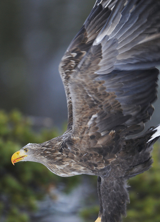 White-tailed sea eagle (Haliaeetus albicilla/ossifraga), Flatanger, Norway..