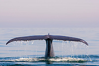 Blue Whale, Balaenoptera musculus, fluke, fluking, water drops on tail, Los Coronados islands, baja California, Mexico, Pacific Ocean