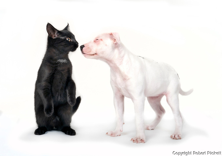 9 week old Staffy Puppy and her mate 6 month old kitten, together in studio, playing, UK