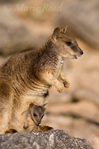 Mareeba Rock Wallaby (Petrogale mareeba), female with joey in pouch, Granite Gorge, Mareeba, Queensland, Australia