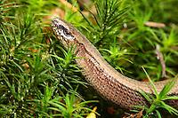 Blindschleiche, Blind-Schleiche, Anguis fragilis, Schleiche, European slow worm, blindworm, Orvet, Orvet fragile, Orvet commun