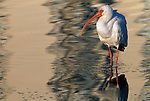 White Ibis wading at Estero Beach in Florida.