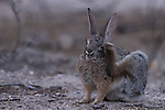 Sabino Canyon Recreation Area, Tucson, Arizona; a desert cottontail (Sylvilagus audubonii) scratches its ear while hiding under a bush in the low light at dusk