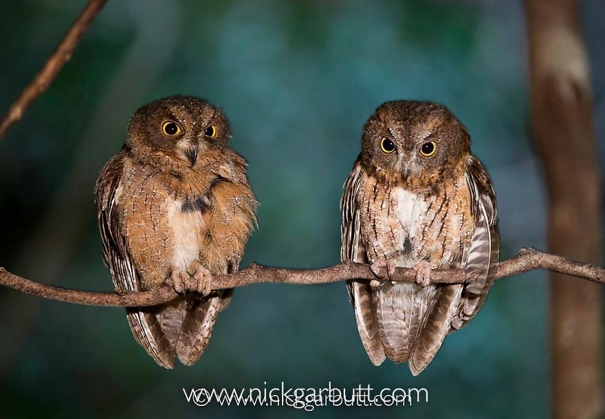 Madagascar Torotoroka Scops Owls (Otus rutilus) in forest canopy. Ankarana Reserve, northern Madagascar.