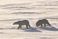 01874-14216 Polar Bears (Ursus maritimus)  in Cape Churchill Wapusk National Park,  Churchill, MB Canada