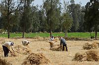 EGYPT, Bilbeis, Sekem organic farm, desert farming, manual harvest of wheat / AEGYPTEN, Bilbeis, Sekem Biofarm, Landwirtschaft in der Wueste, Ernte von Weizen, Baum Reihen als Schutz vor Wind und Erosion