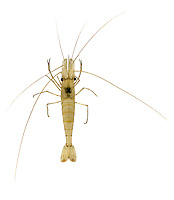Common Prawn - Palaemon serratus