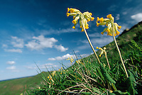 COWSLIP Primula veris (Primulaceae) Height to 25cm<br /> Elegant, downy perennial of dry, unimproved grassland, and often associated with calcareous soils. FLOWERS are 8-15mm across, fragrant, bell-shaped, stalked and orange-yellow; borne in rather 1-sided umbels of 10-30 flowers (Apr-May). FRUITS are capsules. LEAVES are tapering, wrinkled and hairy, forming a basal rosette. STATUS-Widespread and locally common, except in Scotland where it is rather scarce.