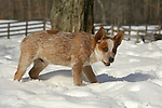 A blue heeler dog out in the snow on Springdale Farm, PA