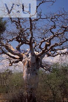 Baobab (Adansonia fony) Madagascar