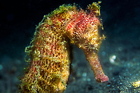 yellow seahorse, Hippocampus kuda, Sulawesi, Indonesia, Indian