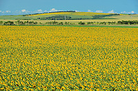 Sunflower crop<br /> Holland<br /> Manitoba<br /> Canada