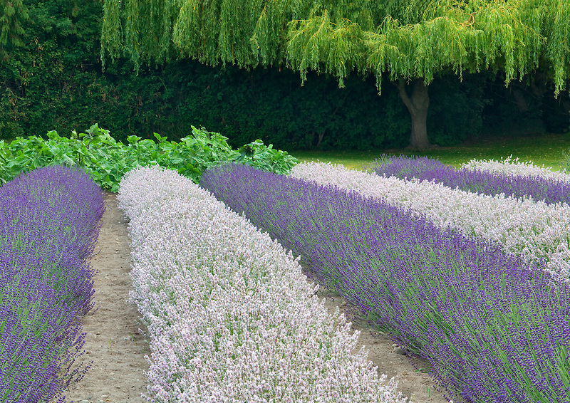 Rows of lavendar and weeping willow tree. Purple Haze Lavender Farm. Washington