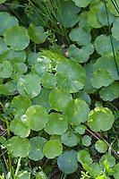 Gewöhnlicher Wassernabel, Hydrocotyle vulgaris, Marsh Pennywort