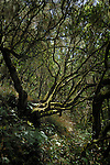 Moss covered laura silver trees in the forest, La Gomera, Canary Islands, Spain