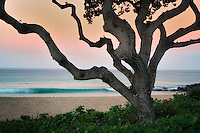 Tree and wave. Near Hapuna Beach. Hawaii, Island