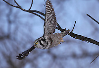 A Northern Hawk Owl (Surnia ulula) launches itself toward its prey.  Alberta, Canada