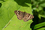Speckled Wood Butterfly, Pararge aegeria, Denge Woods, KENT UK, wings open in sunshine