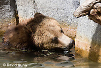 0325-1013  Grizzly Bear Swimming in Deep Pool of Water, Ursus arctos horribilis  © David Kuhn/Dwight Kuhn Photography.