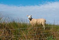 A ewe near Slaidburn, Clitheroe, Lancashire.