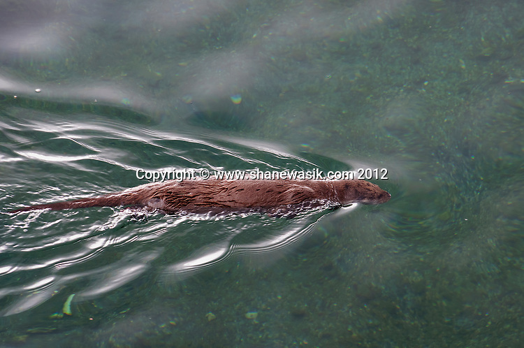 Otter looking for food near Tobermory
