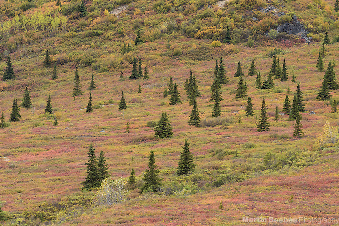 Dwarfed spruce and fall colors in the transition zone between taiga and tundra, Denali National Park, Alaska