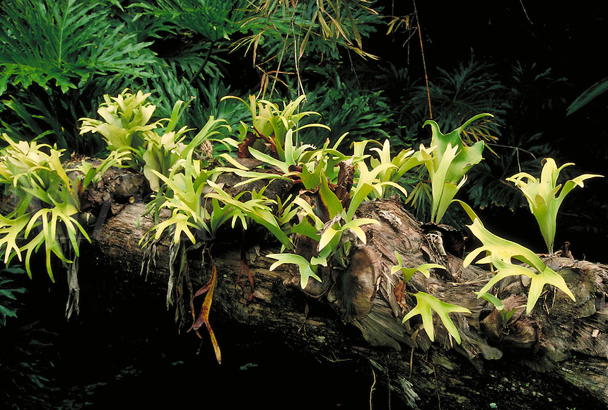 Green (saprophyte) plants on a dead log. garden, gardening, plants, exotic, 'air plants', soiless plants. Florida.