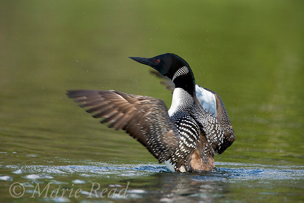Common Loon (Gavia immer) adult flapping its wings, Michigan, USA.