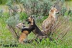 Red and cross (red) fox kits playing near den. Grand Teton National Park, Wyoming.