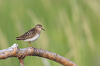 Least sandpiper perched on a branch, Katmai National Park, Alaska Peninsula, southwest Alaska.