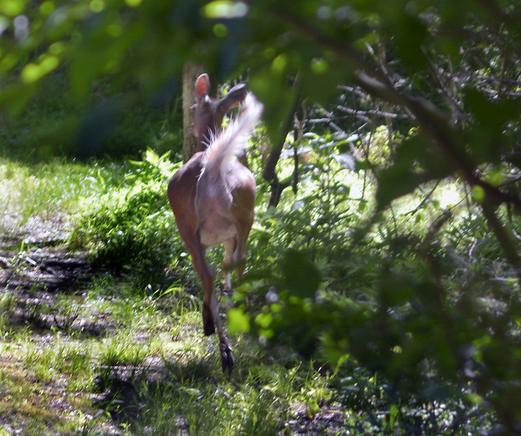 Deer seen in the Esopus Bend Nature Preserve in Saugerties, NY, on Wednesday, June 14, 2017. Photo by Jim Peppler. Copyright/Jim Peppler-2017.
