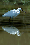 Little Egret, Egretta garzetta, Lake Langano, Ethiopia, wading in water fishing, reflection, white.Africa....