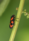 Black-and-red Froghopper - Cercopis vulnerata