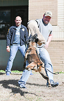 NWA Democrat-Gazette/CHARLIE KAIJO Arem, a five-year-old Belgian Malinois bites Rogers MPO Rick Yager (from right) during a demonstration as MPO Travis Pennington watches, Monday, March 5, 2018 at Elmwood Middle School in Rogers.<br /><br />The Rogers Police department took K-9s to Elmwood's REACH class (Reaching Exceptional, Academic and Creative Heights). The students are participating in a forensics unit where they receive hands on career experience.