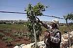 A Palestinian farmer works in his farm near Kharsina settlement in the West Bank city of Hebron on May 24, 2011. as a response to last week's speech by US President Barack Obama in which he said that a Palestinian state must be created based on the borders that existed before the 1967 Six Day War. It banned the construction work in the region in which it operates the farmer because its proximity to the settlement.Photo by Najeh Hahlamoun