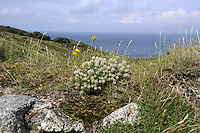 HARE'S-FOOT CLOVER Trifolium arvense (Fabaceae) - Lundy, Devon. Height to 25cm. Charming and distinctive annual that is covered in soft hairs. Found in dry, grassy areas, typically on sandy or gravelly soils. FLOWERS are pale pink and shorter than the filament-like calyx teeth; borne in dense egg-shaped to cylindrical heads, 2-3cm long (Jun-Sep). FRUITS are concealed by the calyx. LEAVES are trifoliate and comprise narrow leaflets that are barely toothed. STATUS-Widespread and locally common in England and Wales; absent from N Scotland and mainly coastal in Ireland.