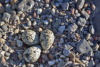 American Avocet nest with eggs. Summer Lake State Wildlife Refuge. Oregon