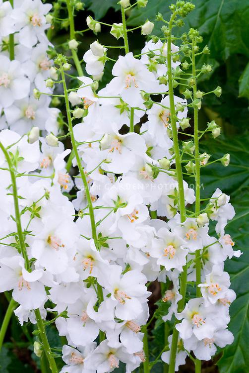 Verbascum phoeniceum flush of white plant flower stock verbascum phoeniceum flush of white perennial white flowers mightylinksfo Images