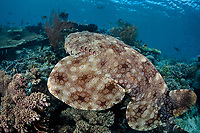 A Tasselled wobbegong, Eucrossorhinus dasypogon, glides over a diverse coral reef displaying its incredible camouflaged pattern. Batanta Island, Raja Ampat, Papua, Indonesia, Pacific Ocean