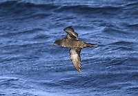 Sooty Shearwater - Puffinus griseus. Breeds in the southern Atlantic (on islands of New Zealand and South America); outside the breeding season they undertake a circum-Atlantic journey, passing through European waters mainly from July to September.