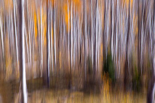 Fall foliage has arrived in an Aspen grove in the Southern Utah landscape