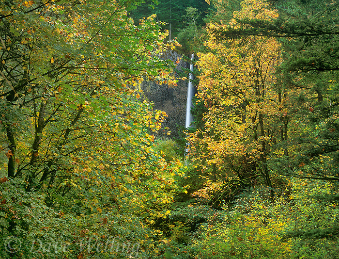738600036a latourelle falls seen through big leaf maple trees acer macrophyllum in fall color in the columbia river gorge national scenic area oregon