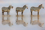"It's a zebra crossing.....Three zebras cross a lake in single file through some early morning mist.<br /> <br /> The trio walked through the lake in Amboseli National Park in Kenya, Africa while reflecting on the surface of the water which was agitated by their passing.<br /> <br /> Linda Lester, 61, from Canton, Georgia in the USA said, """"This was just so funny.  I'm not sure if he was asking them to move or just yawning""<br /> <br /> ""Photography is not a profession for me but a passion.""<br /> <br /> Please byline: Linda Lester/Solent News<br /> <br /> © Linda Lester/Solent News & Photo Agency<br /> UK +44 (0) 2380 458800"