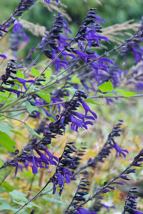 Salvia 'Amistad', mid October.