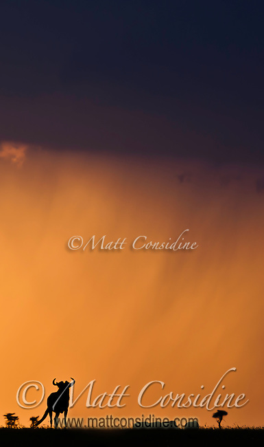 Blue wildebeest silhouetted by a dramatic storm with orange skies and threatening clouds on the Mara, Kenya, Africa  (photo by Wildlife Photographer Matt Considine)