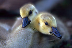 USA; California; Lakeside; San Diego; Canada Goslings in Lakeside
