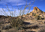 Ocotillo at Cottonwood Springs.  Joshua Tree National Park