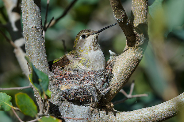Anna' Hummingbird nest (Calypte anna).  Arizona.  February-March.  Note the use of spider web on nest and still on female's beak from collecting it for nest.