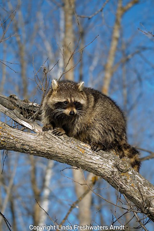 Raccoon (Procyon lotor) sitting on a tree limb6990